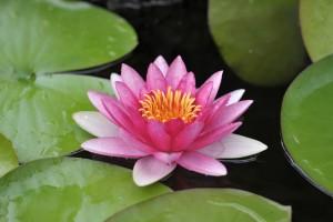lotus flower magenta
